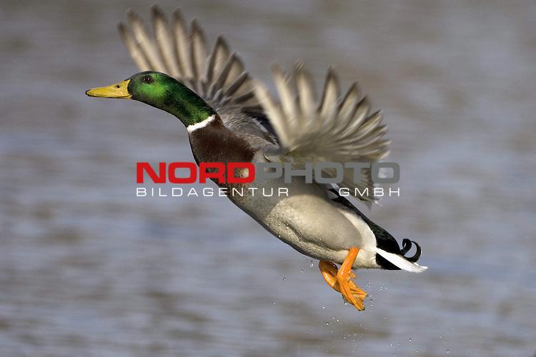 Stockente (Anas platyrhynchos), Erpel, Prachtkleid, Ente, <br /> Vogel, fliegend, FŁgel schlagend, Federn, Wasser <br /> <br /> <br /> Foto: &copy; nordphoto <br /> <br />  *** Local Caption ***