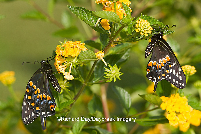03009-01720 Black Swallowtail butterflies (Papilio polyxenes) male and female on New Gold Lantana (Lantana camara) Marion Co., IL