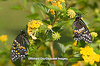 03009-01720 Black Swallowtail butterflies (Papilio polyxenes) male and female on New Gold Lantana (Lantana camara) Marion Co., IL