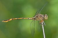 341730008 a wild female narrow-striped forceptail aphylla protracta perches on a dead branch along the rio grande river near santa ana national wildlife refuge in hidalgo county texas