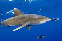 Oceanic whitetip shark, Carcharhinus longimanus, with pilot fish. Hawaii.