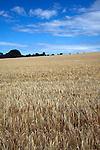 Barley field, Sutton, Suffolk farming landscape scenery, East Anglia, England