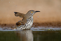 582000063 a wild long-billed thrasher toxostoma longirostre bathes in a small pond on santa clara ranch starr county texas united states