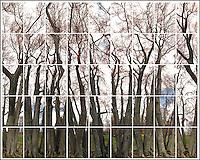 Splayed Linden Tree