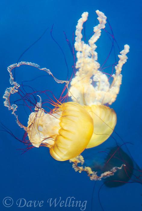 435250009 pacific sea nettle chrysaora fuscescens swim and float in their aquarium at the long beach aquarium in long beach california
