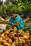 BELIZE, Punta Gorda, Toledo District, farming Cacao with the Peck and Mes families in the Maya village of San Jose