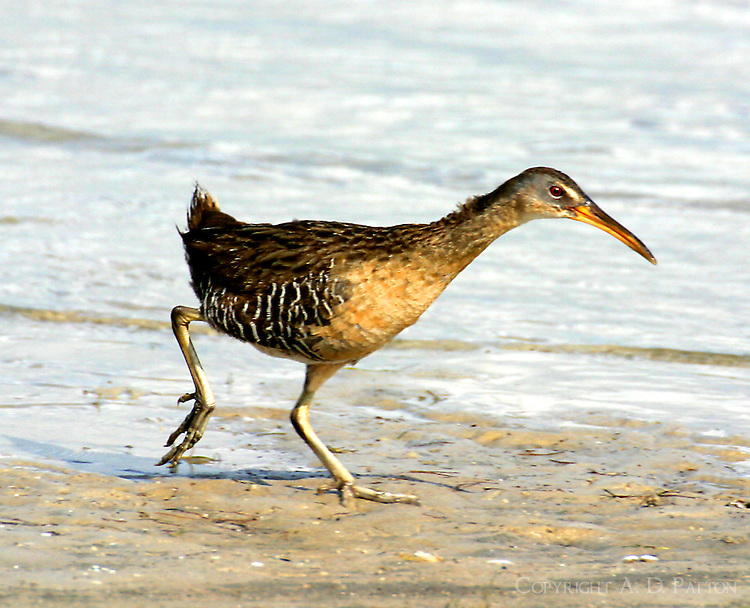 Clapper rail running on beach