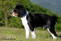 0730-0815  Tricolor English Springer Spaniel Puppy, Canis lupus familiaris © David Kuhn/Dwight Kuhn Photography.