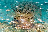 Tube anemone (family : ceranthidae) , Pantai parigi, Lembeh strait, Celebes sea, Pacific Ocean, Sulawesi, Indonesia, Asia
