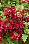 Corsage Wine Garden Verbena, Verbena hybrid
