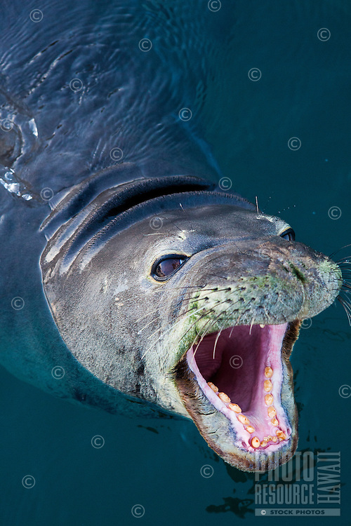 A Hawaiian monk seal swimming in Lahaina Harbor, Maui.