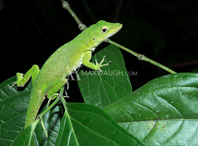 We found this beautiful neotropical green anole during a night walk.