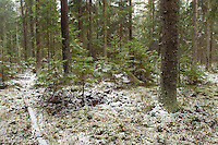 Bialowieza forest, Poland. February 2009