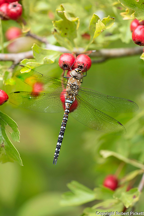 Migrant Hawker, Aeshna mixta, Monkton Nature Reserve, Kent UK, male, resting on hawthorn berries