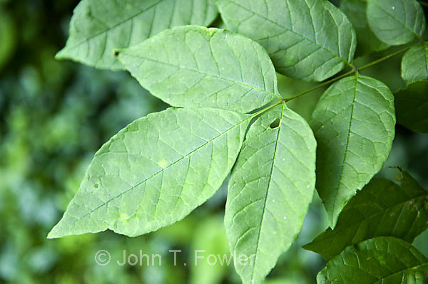 Leaves of White Ash tree,  Fraxinus americana