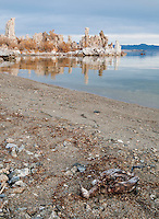 Dead grebe, Podiceps sp, on the shore of Mono Lake. South Tufa Area, Mono Lake Tufa State Natural Reserve, Mono Lake, California. Tufa is formed when springs under the lake mix calcium-rich freshwater with alkaline lakewater, precipitating deposits of calcium carbonate. The lake level has dropped more than 30 feet since 1941, when the city of Los Angeles began diverting water from the streams that feed it, exposing the formerly submerged tufa.