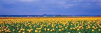 Tulip Fields in Town of La Conner,