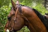 USA, Oregon, Joseph, horse close up in the rain in Steer Creek drainage, Northeast Oregon