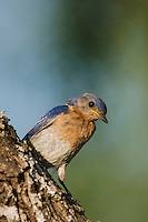 Eastern Bluebird, Sialia sialis,male, Willacy County, Rio Grande Valley, Texas, USA, June 2006