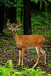 Whitetail buck in velvet in PA