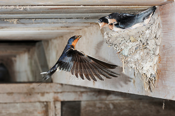 Barn Swallow (Hirundo rustica), female feeding young in nest, Dinero, Lake Corpus Christi, South Texas, USA