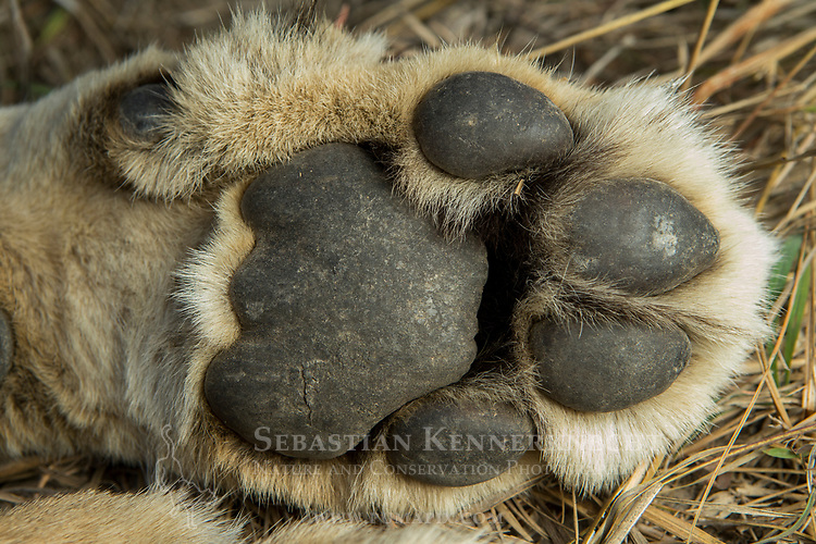 African Lion (Panthera leo) six year old female front paw, Kafue National Park, Zambia