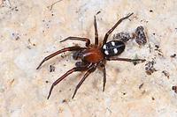 Vierfleckige Kalksteinspinne, Männchen, Kalksteinspinne, Titanoeca quadriguttata, Titanoeca obscura, male, Kalksteinspinnen, Kalkstein-Spinnen, Titanoecidae