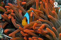 Anemonefish (Amphiprion perideraion) in a red sea anemone, underwater, Red Sea, Egypt (Licence this image exclusively with Getty: http://www.gettyimages.com/detail/81867380 )