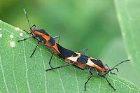 Large Milkweed Bug; Oncopeltus fasciatus; on Common Milkweed;  PA, Philadelphia, Schuylkill Center