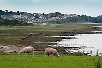 Sheep grazing on the coast, Bolton Le Sands, Lancashire.