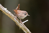 Eurasian wren, Troglodytes troglodytes, or winter wren, perched in forest, Nova Scotia, Canada