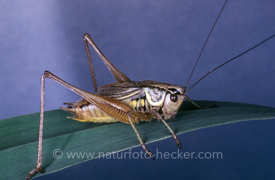 Roesels Beißschrecke, Rösels Beißschrecke, Roesels Beissschrecke, Männchen, Metrioptera roeselii, Roeseliana roeselii, Roesel's bush cricket, male, Tettigoniidae