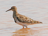 Pectoral sandpiper adult breeding in rain water pond