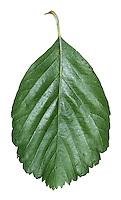 A species of whitebeam native to Exmoor, as yet properly described. Named 'D' after Desolate, the area on Exmoor where it grows. Similar to Sorbus vexans (Rosaceae) HEIGHT to 10m. LEAVES Ovate to elliptical with shallow-toothed lobes extendingaround 1/3 to midrib; 8-9 pairs of veins. REPRODUCTIVE PARTS Fruits are red with scattered lenticels.