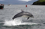 2006- Dingle's wild friendly dolphin known affectionetely as 'Fungi' and is over 50 years old according to local scientists. But even at 50 Fungi, as our pictures taken this weekend show, he is as sprightly as ever. Fungi arrived in Dingle bay in 1983 and has been seen by well over 3,000,000 tourists over the past 20 years. To this day Fungi can be seen swimming close to boats and doing 10ft flips in the harbour. Local tour operators charge 10 euro for a trip to see Fungi with the provisio that should you not see him you get your money back!. (very few people received a refund)..Fungi is as important to Dingle tourism as the lakes are to Killarney. Queues of over 100 people on the pier waiting forthe next boat trip are a daily sight during the month of August..Picture by Don MacMonagle