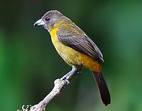 Female Cherrie's tanager