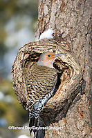 01193-01518 Northern Flicker (Colaptes auratus) male on dead tree in winter, Marion Co, IL