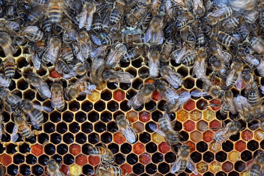 Pollen reserve. We can see the different colors of the pollens, which attests to their floral diversity.///Réserve de pollen. L'on observe la couleur différente des pollens qui atteste de leur diversité florale.