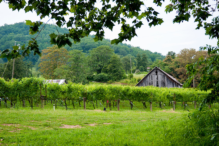 From the parking lot at DuCard Vineyards, overhanging branches of a sugar maple tree frame a picturesque view of vineyards, with old barn and hills in the background.