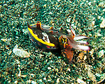 "We came across a number of flamboyant cuttlefish in the sand along the bottom of the Lembeh Strait.  The flamboyant cuttlefish (""Pfeffer's Flamboyant Cuttlefish,"" <em>Metasepia pfefferi</em>) is so named for the bright coloration it may adopt when approached.  This is a very small beastie; the ones we saw were between two and four inches (say, about 5 to 10 cm) long, including tentacles.  Normally its coloration is very drab -- dull shades of brown, looking like a rock on the sandy bottom where it lives, ""walking"" around the bottom using its lower arms (tentacles).  But it adopts bright, almost pulsating shades of red, purple, and pink with that distinctive yellow border when disturbed (for instance, by a hulking diver shoving a large camera lens into its ""face"").  Like most creatures that may adopt vibrant coloration when disturbed, the bright color is a warning; the flesh of the flamboyant cuttlefish is highly toxic."