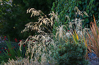 Stipa gigantea (Giant Stipa Grass) Albers Vista Gardens