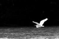 Maumee River Heron
