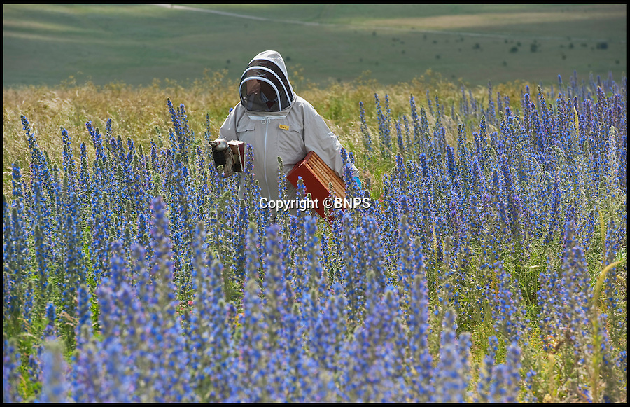 BNPS.co.uk (01202) 558833<br /> Picture: PhilYeomans/BNPS<br /> <br /> Vipers Bugloss blooming on the plain.<br /> <br /> Long hot summer a boost for the bee man of Salisbury Plain.<br /> <br /> One of Britains last wilderness area's is a hive of activity this summer as an army of busy bees swarm across Salisbury plain in Wiltshire.<br /> <br /> Major Chris Wilkes commands an astonishing 8 million bees in 150 hives dotted across the unique enviroment of the plain. The chalkland host's an amazingly wide range of rare wildflowers as 60,000 acres of SSSI have never been treated with modern pesticides.<br /> <br /> The wet winter and dry spring have produced perfect conditions for the diverse flora of the grasslands, with the isolation of the plain creating a cornucopia of the top nectar flowers in the UK  producing a honey with the distinctive flavour of one of Britains last wilderness areas.