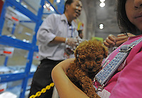 A miniature tea cup poodle one of the most common pets in dogs in Japan. They sell for up to 4000 pounds. .  Japan kills over 200,000 cats and dogs annually by gassing them with carbon dioxide...photo by  / Sinopix.