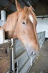Mare standing in stables at Horse stud, stables and tourist attraction at The Suffolk Punch Trust, Hollesley, Suffolk, England
