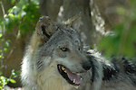 mexican wolf at the Living Desert Reserve