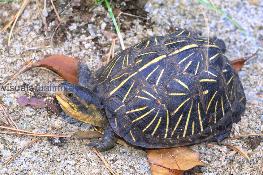 Florida Box Turtle (Terrapene carolina bauri) adult on sandy ground in woodland, Florida.