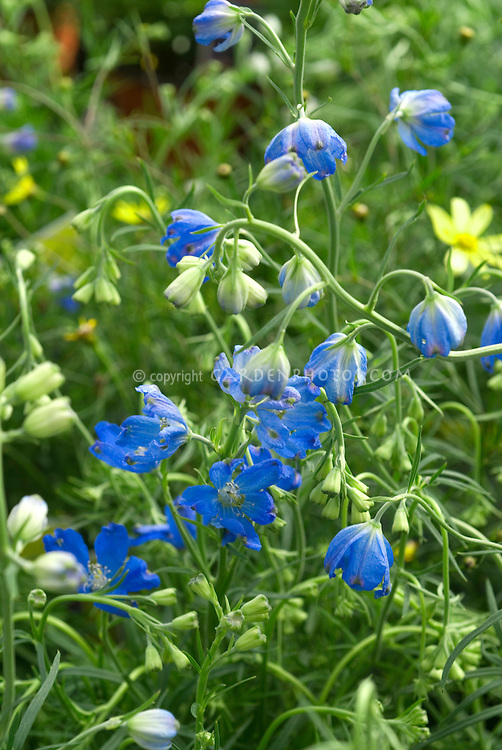 Blue flowers amp plants stock photos images plant flower delphinium grandiflorum blue mirror dwarf blue flowered perennial many flowers mightylinksfo