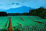 Rows of pineapple plants provide a background for the smoking Poas Volcano.  Costa Rica is one of the largest exporters of pineapples in the world.