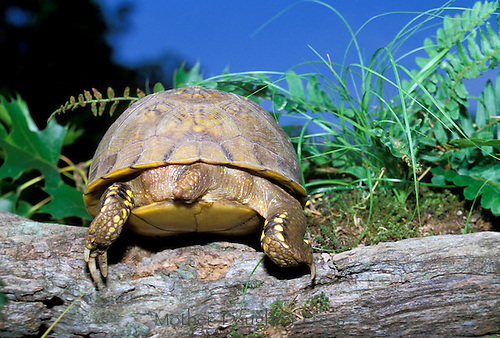 The end - the backend or tail of a box turtle, Terrapene carolinas, walking away from the garden over an old log, Missouri USA
